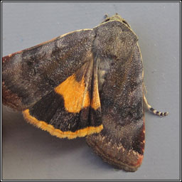 Lesser Broad-bordered Yellow Underwing, Noctua janthe