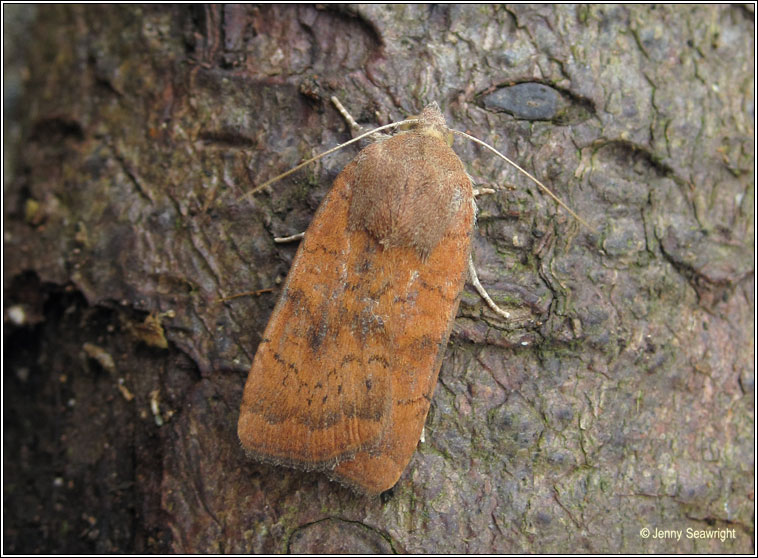 Least Yellow Underwing, Noctua interjecta