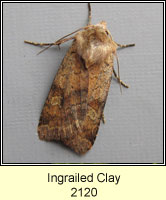 Ingrailed Clay, Diarsia mendica