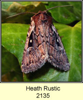 Heath Rustic, Xestia agathina