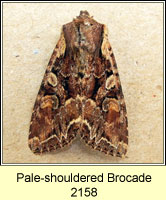 Pale-shouldered Brocade, Lacanobia thalassina