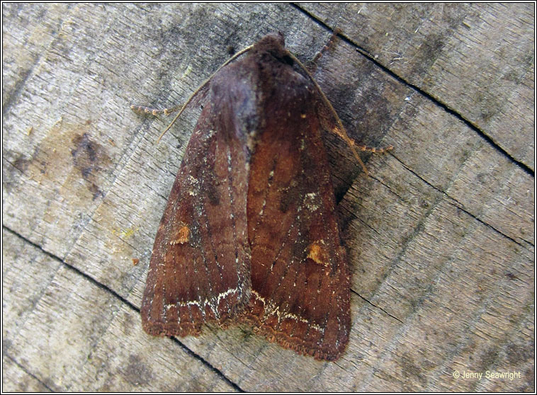 Bright-line Brown-eye, Lacanobia oleracea