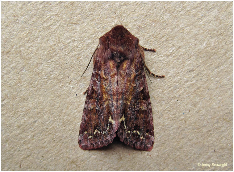 Broom Moth, Melanchra pisi