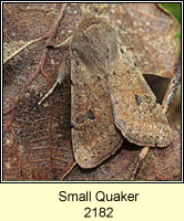Small Quaker, Orthosia cruda