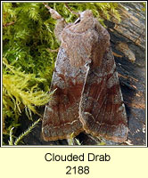 Clouded Drab, Orthosia incerta