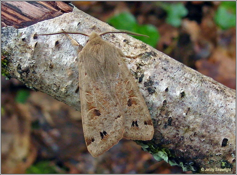 Twin-spotted Quaker, Orthosia munda