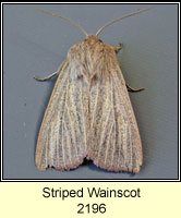 Striped Wainscot, Mythimna pudorina