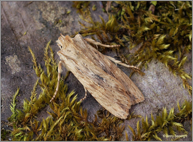 Pale Pinion, Lithophane hepatica