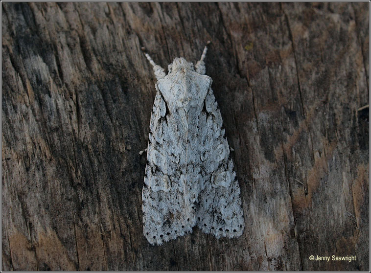 Grey Shoulder-knot, Lithophane ornitopus