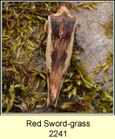 Red Sword-grass, Xylena vetusta