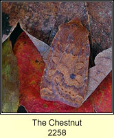 The Chestnut, Conistra vaccinii