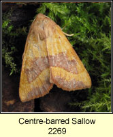 Centre-barred Sallow, Atethmia centrago