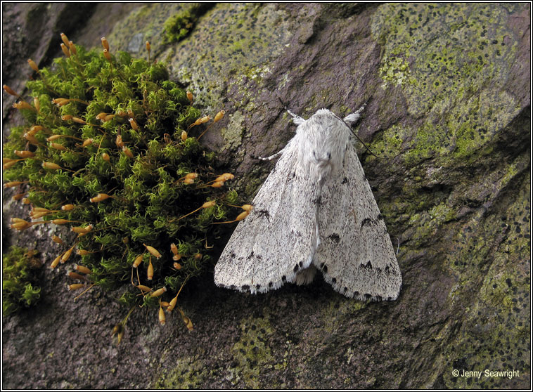 The Miller, Acronicta leporina