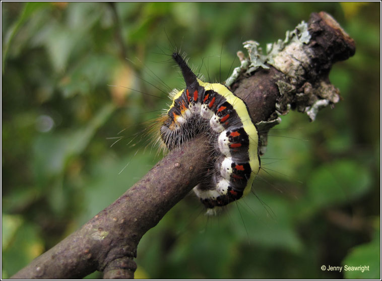 Grey Dagger, Acronicta psi (caterpillar)