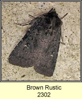 Brown Rustic, Rusina ferruginea