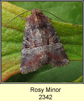 Rosy Minor, Mesoligia literosa