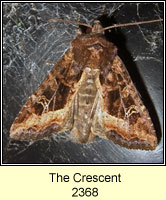 The Crescent, Celaena leucostigma