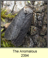 The Anomalous, Stilbia anomala