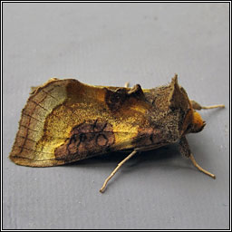 Burnished Brass, Diachrysia chrysitis