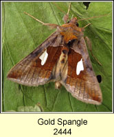 Gold Spangle, Autographa bractea