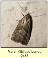 Marsh Oblique-barred, Hypenodes humidalis