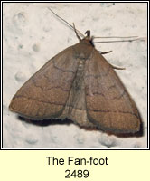 The Fan-foot, Zanclognatha tarsipennalis