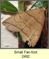 Small Fan-foot, Herminia grisealis